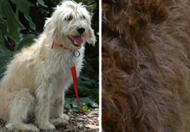 Labradoodle Hair Coat