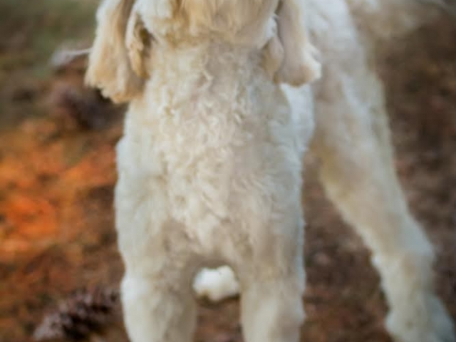 Lulu, Arch View Labradoodles