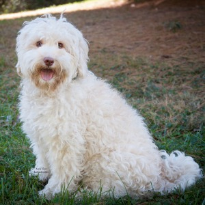 Bailey the labradoodle