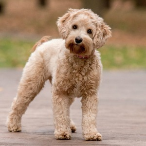 Lucy the labradoodle