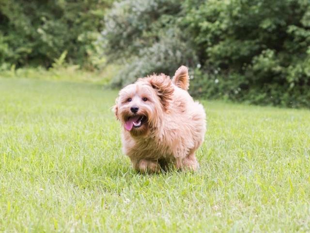 Goldie the dog running