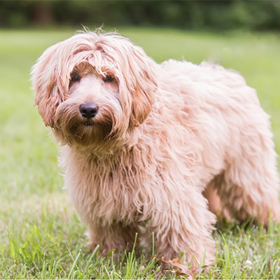 Main Benefits Of Adopting Australian Labradoodle