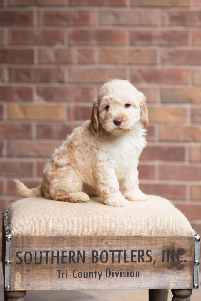 What Size Australian Labradoodle is Best for You ...