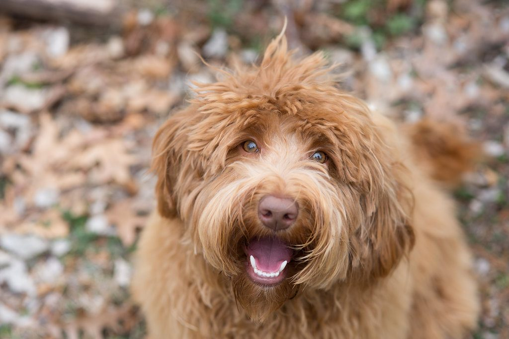 Ally the labradoodle
