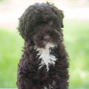 mini male labradoodle puppy