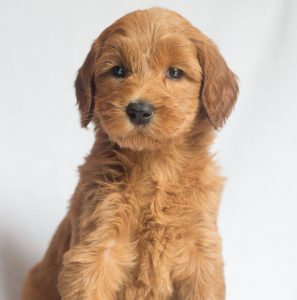 standard female labradoodle puppy