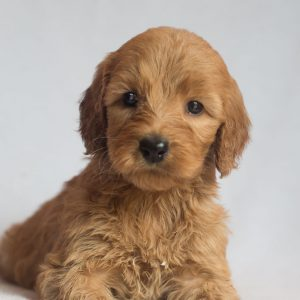 standard male labradoodle puppy