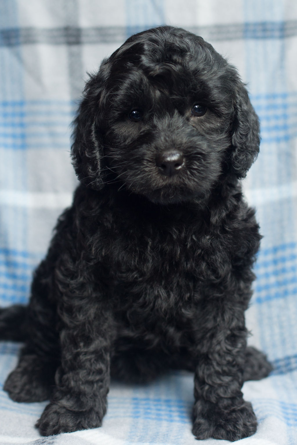 Top Australian Labradoodle Breeder - Illinois & Missouri