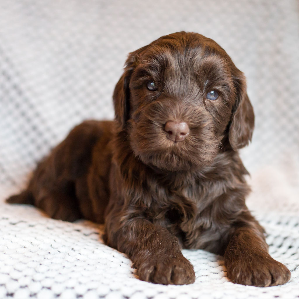 Griffin, Standard Chocolate Male