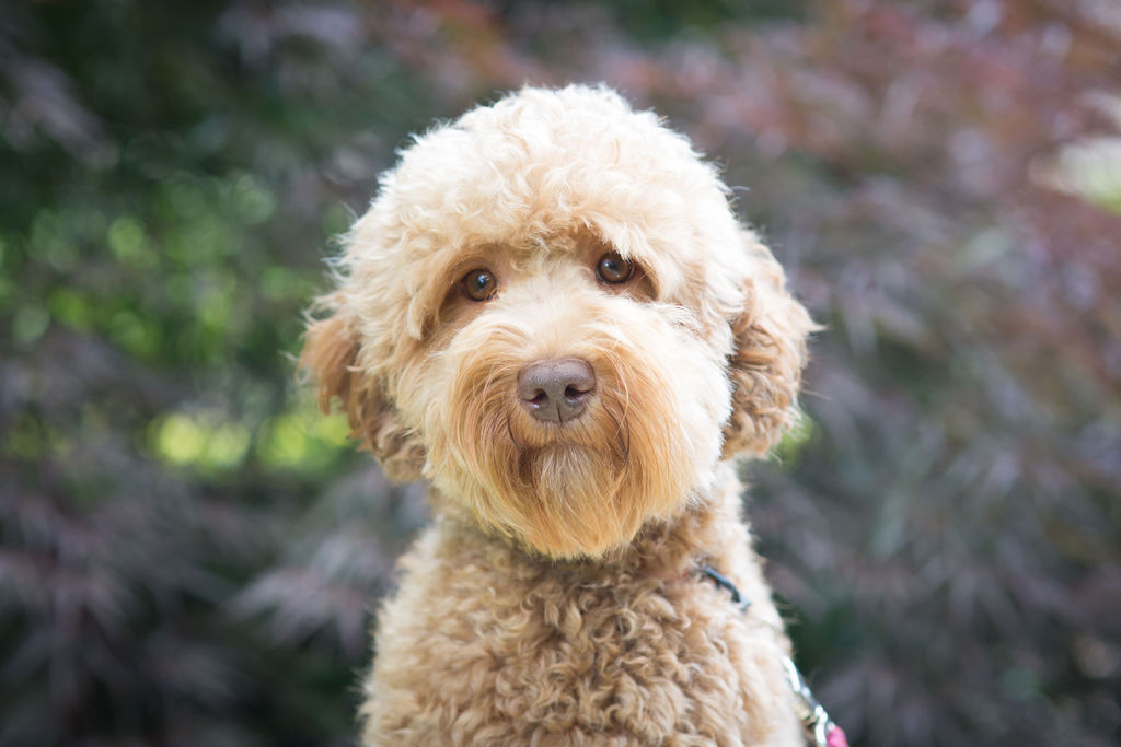 Daisy the Labradoodle