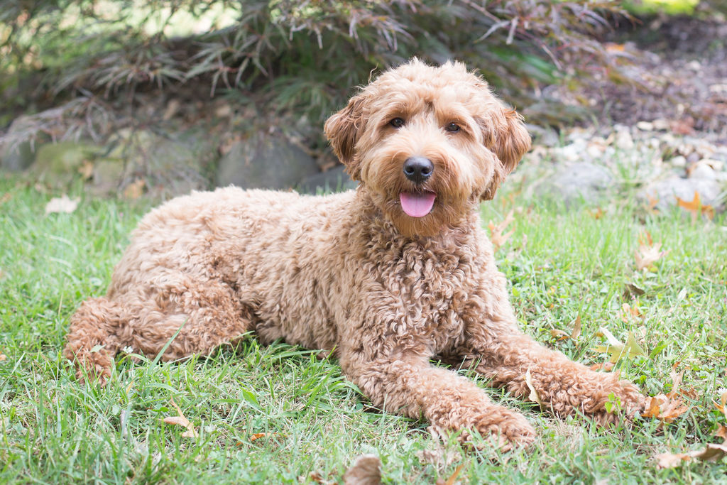 Latte the Labradoodle