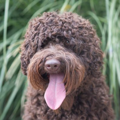 Holly the labradoodle