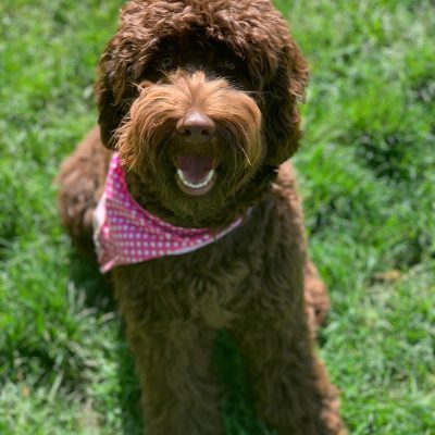Olivia the Labradoodle