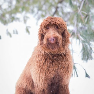 Roxie the Labradoodle